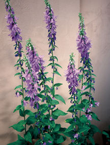 All_plants_adenophora_latifolia-1.full