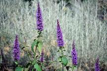 All_plants_agastache_rugosum-1.full