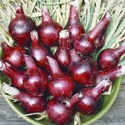Onion_redwing.full