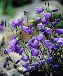 All_plants_campanula_rotundifolia-1.full