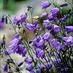 Bluebell of Scotland