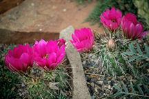 Cactus, Engleman's Hedgehog