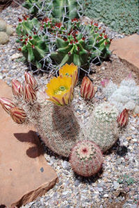 Cactus, New Mexico Rainbow Hedgehog