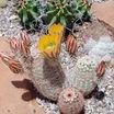 Cactus, New Mexico Rainbow Hedgehog