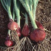 Onion_mini_purplette.full