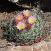 Cactus, Snowball