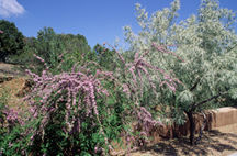 Butterfly Bush, Spring Blooming