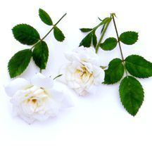 Rose, Miniature White