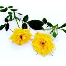 Rose, Miniature Yellow