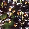 Fruits_and_nuts_ribes_nigrum_ben_sarek-1.thumb