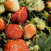 Strawberry, 'Winona'