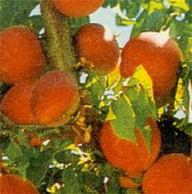 Nectarine, Stark® Crimson Gold dwarf