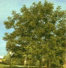 Walnut, English 'Carpathian'