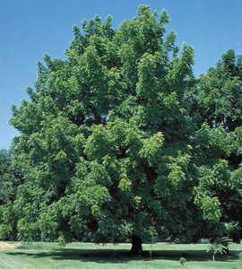 Pecan Tree, 'Missouri Hardy'