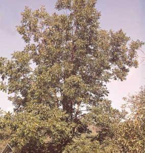 Pecan Tree, Cape Fear