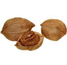 Hickory Nut, 'Missouri Mammoth'