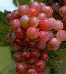 Grape, Canadice Seedless