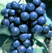 Grape, Seedless 'Mars'
