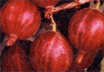 Gooseberry, Hinnonmaki Red