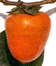 Persimmon, 'Tanenashi'