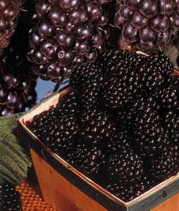 Blackberry, Illini Hardy #5