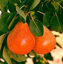 Pear, European 'Ubileen'