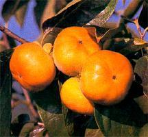 Persimmon, Asian 'Jiro'