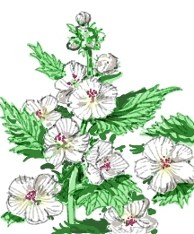 All_plants_althaea_officinalis_alba-1.full