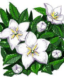All_plants_platycodon_grandiflorus_apoyama_fairy_snow-1.full