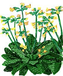 Cowslip, 'Sunset Shades'