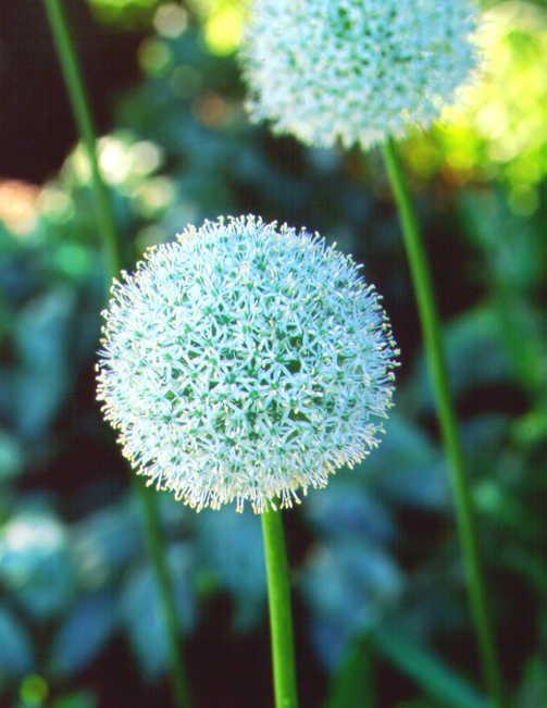Alliums_allium_stipitatum_mount_everest-1.full