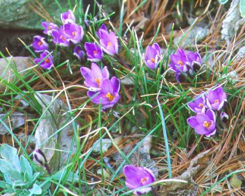 Crocus_crocus_minimus-1.full