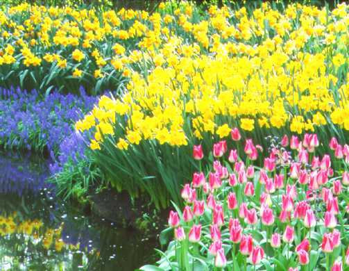 Daffodils_and_narcissus_narcissus_x_primeur-1.full