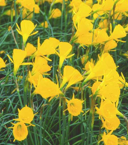 Daffodils_and_narcissus_narcissus_x_golden_bells-1.full