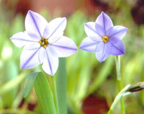 All_plants_ipheion_uniflorum_var._rolf_fielder-1.full