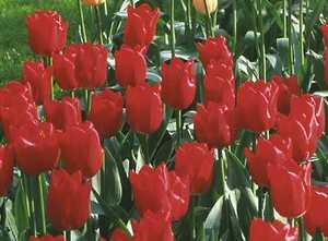 Tulip, Single Early 'Merry Christmas'