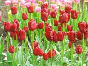 Tulip, Triumph 'Jan Reus'