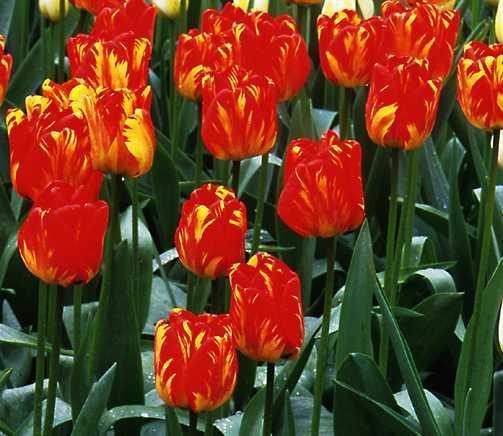 Tulips_tulipa_orange_bowl-1.full