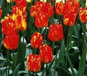 Tulip, Darwin 'Orange Bowl'