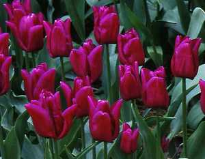 Tulip, Triumph 'Passionale'
