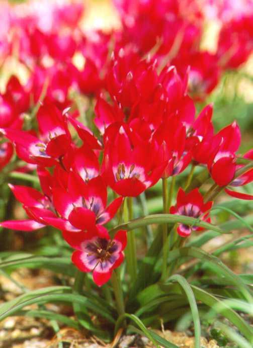 Tulips_tulipa_little_beauty-1.full