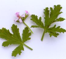 Scented_geraniums_pelargonium_cedar-1.full