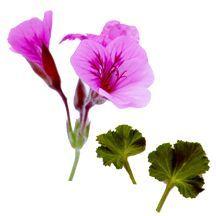 Scented_geraniums_pelargonium_brigham_lime-1.full