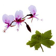 Scented Geranium, Grape Leaf