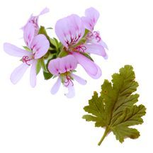 Scented_geraniums_pelargonium_x_lemon_balm-1.full