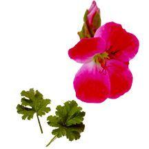 Scented_geraniums_pelargonium_madame_nonin-1.full