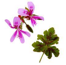 Scented_geraniums_pelargonium_mint_beauty-1.full