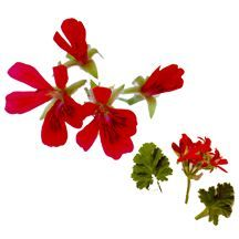 Scented_geraniums_pelargonium_oklahoma_beauty-1.full