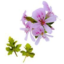 Scented Geranium, Large Leaf Peach