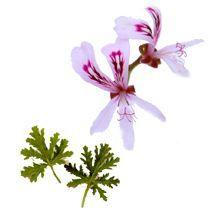 Scented_geraniums_pelargonium_peppermint_rose-1.full